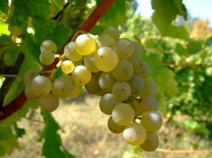 Sauvignon_blanc